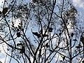Teak tree (433679853).jpg