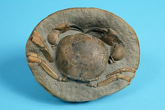 A Miocene crab (Tumidocarcinus giganteus) from the collection of the Children's Museum of Indianapolis The Childrens Museum of Indianapolis - Miocene crab.jpg