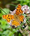 The Comma (Polygonia c-album) - Flickr - berniedup (1).jpg