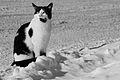 The Rum Tum Tugger is a curious cat (2304601437).jpg