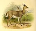 The book of antelopes (1894) Cervicapra fulvorufula.png