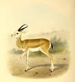 The book of antelopes (1894) Gazella marica.png