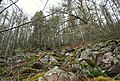 The moss clad larches on Romach's steep north shore. - geograph.org.uk - 323334.jpg
