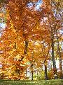 The yellow of Autumn.JPG