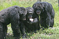 Three chimpanzees with apple.jpg