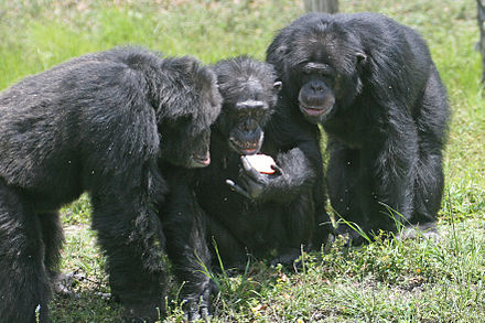 Chimpanzees are social great apes. Three chimpanzees with apple.jpg