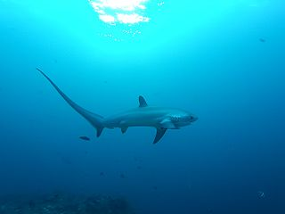 Thresher shark genus of fishes
