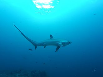 Thresher shark - Pelagic thresher (A. pelagicus)