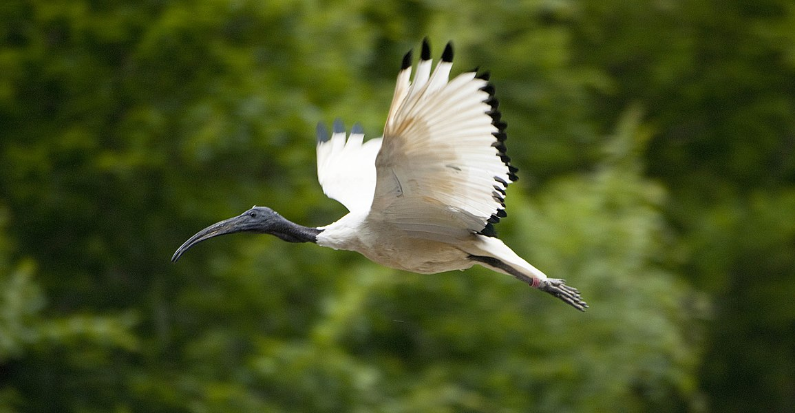 A African Sacred Ibis flying at Pont-Scorff Zoo, Morbihan, Brittany, France.