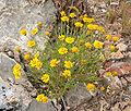 Thymophylla pentachaeta var belenidium 3.jpg