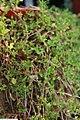 Thymus serpyllum 1zz.jpg