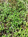Thymus serpyllum s. str. sl1.jpg