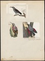 Tichodroma muraria - 1700-1880 - Print - Iconographia Zoologica - Special Collections University of Amsterdam - UBA01 IZ19200373.tif
