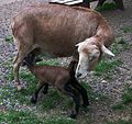 Tierpark Bretten Kamerunschaf mit saugendem Lamm 2011.JPG