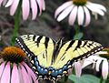 Tiger Swallowtail with Flowers (178981870).jpg