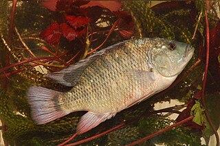 <i>Coptodon</i> genus of fishes