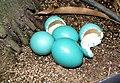 Tinamus guttatus eggs.JPG