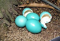 Eggs with glossy, blue-green shells