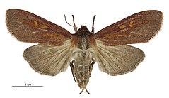 240px tmetolophota purdii female