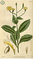 Tolpis macrorhiza (Lowe) Lowe Curtis's botanical magazine s.2 v.4 (1830) (14729340342).jpg