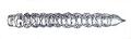 Tomoxia bucephala larva längs.png