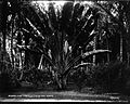 Travelers' Tree and Coconut Grove, Ainahau, photograph by Brother Bertram.jpg