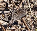 Tree Grayling. Neohypparchia statilinus - Flickr - gailhampshire.jpg
