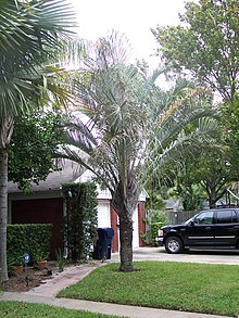 What Degrees Is It Outside >> Dypsis decaryi - Wikipedia