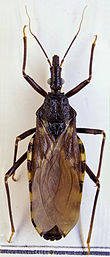 A brown winged insect