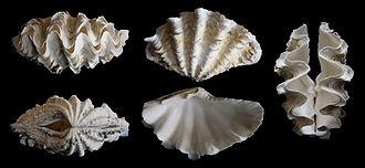 Tridacna costata - A shell of Tridacna costata (not verified).