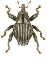 Trigonopterus lineatus holotype - ZooKeys-280-001-g047.jpg