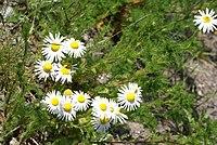 Tripleurospermum perforatum