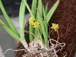 <i>Trizeuxis</i> genus of plants