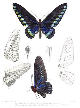 Trogonoptera trojana - Image: Trogonoptera Trojana Rippon