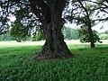 Trunk of tree in Powderham Castle deer park - geograph.org.uk - 1364606.jpg
