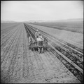 Tule Lake Relocation Center, Newell, California. A tractor disk is used to cover potatoes which had . . . - NARA - 538239.tif