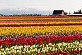 Tulip Festival (41698006081).jpg