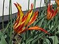 Tulipa 'Balerina' a1.jpg