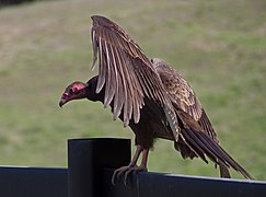 Turkey vultures (01745)a.jpg
