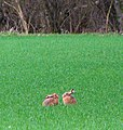 Two hares holding a conference - geograph.org.uk - 1780467.jpg