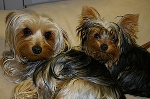 English: Yorkies Teddy and Bella Русский: Йорк...