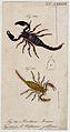 Two scorpions; Brotheus maurus and Centrurus galbinus. Colou Wellcome V0022407ER.jpg