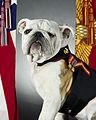 USMC official mascot, English bulldog Pfc. Chesty the XIV - 2013-05-15 - 130515-M-MM982-001.jpg
