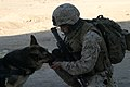 US Navy 051208-M-9470H-027 Lance Cpl. James Sabol, with 514 K-9 unit, offers water to his military working dog, Rex.jpg