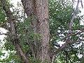 Ulmus americana (5102577518).jpg