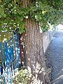 Ulmus minor. Boswall Road, Edinburgh (3).jpg