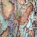 Ulmus parvifolia bark.jpg