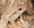 Unknown frog (14525595372).jpg