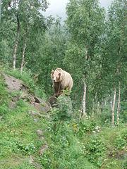 Ursus arctos-Bear-female-Polar Zoo Norway
