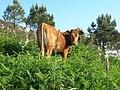 Vaca (470071185).jpg
